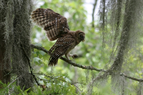 barred_owl_crawfish