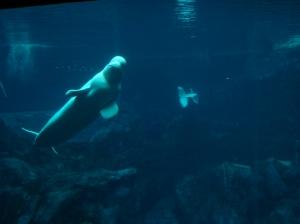 belugawhales