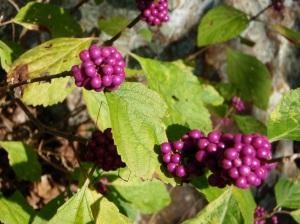 berriesdof